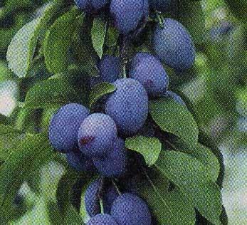 築城果樹園で採れるプルーン