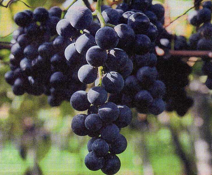 石井観光農場で採れるブドウ