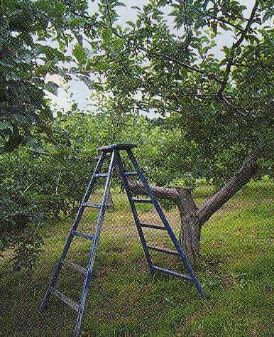 山内昭一果樹園のプルーンの木