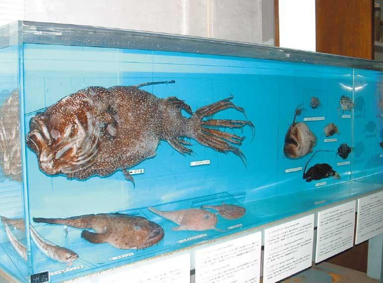北海道大学水産学部水産資料館のあんこうコーナー