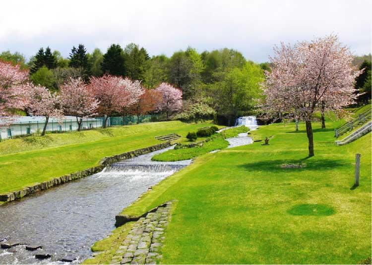 鹿部公園の川沿いに咲いている桜