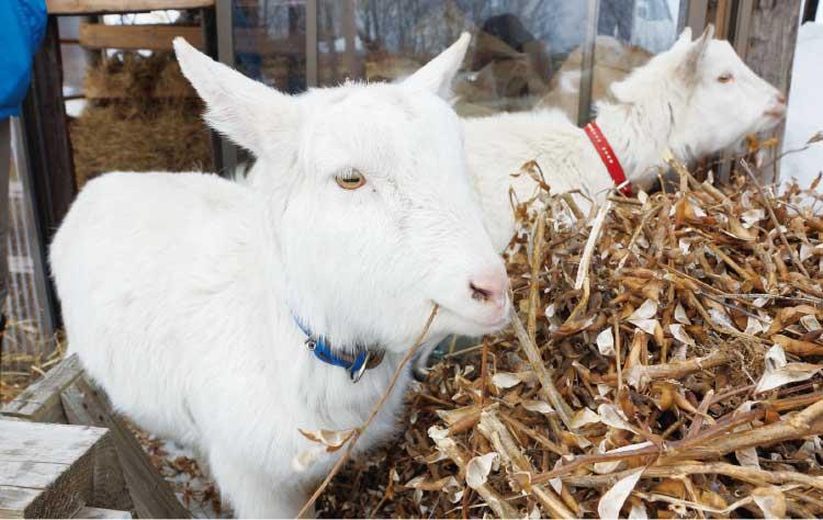 カンペシーノで飼ってる双子の山羊