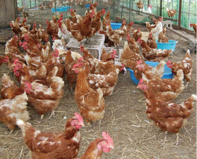 ついき農園の鶏