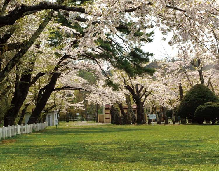 笹流ダム前庭公園の桜