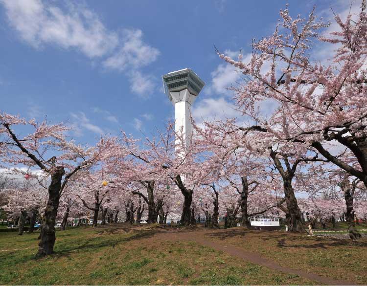 五稜郭公園の桜と五稜郭タワー