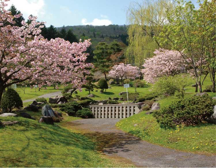 新中野ダムの桜