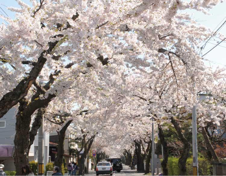 桜ヶ丘通の桜