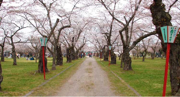 森町のもりまち桜まつり