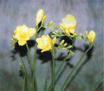 黄のフリージア