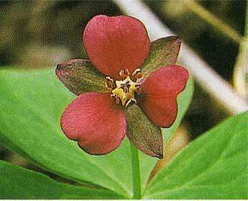 函館山の植物