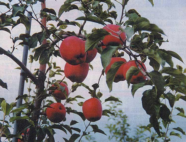 松浦果樹園の木になっているリンゴ