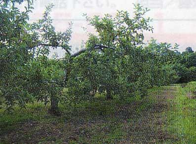 松浦果樹園のリンゴの木