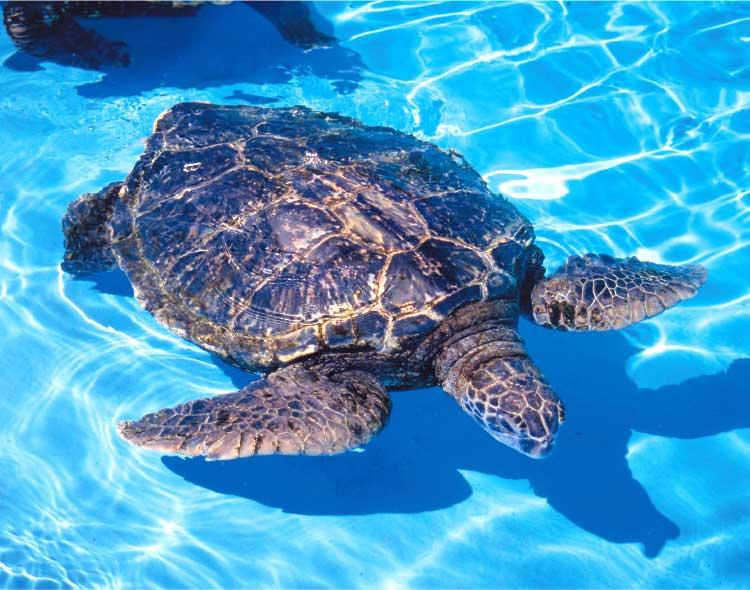 泳いでるウミガメ