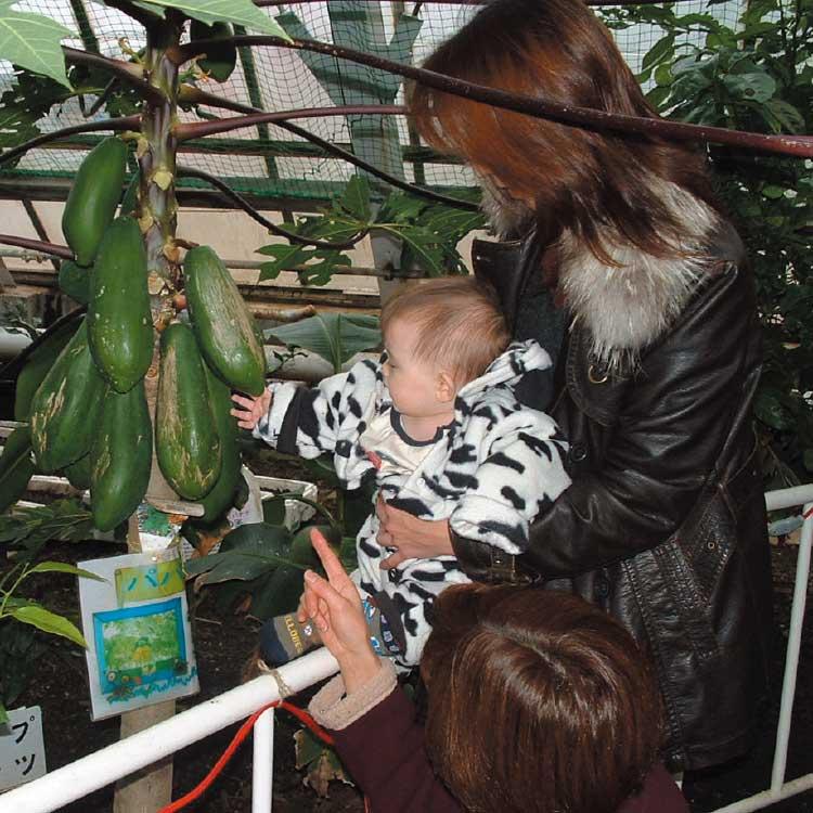 熱帯植物園になっている大きいなパパイヤの実