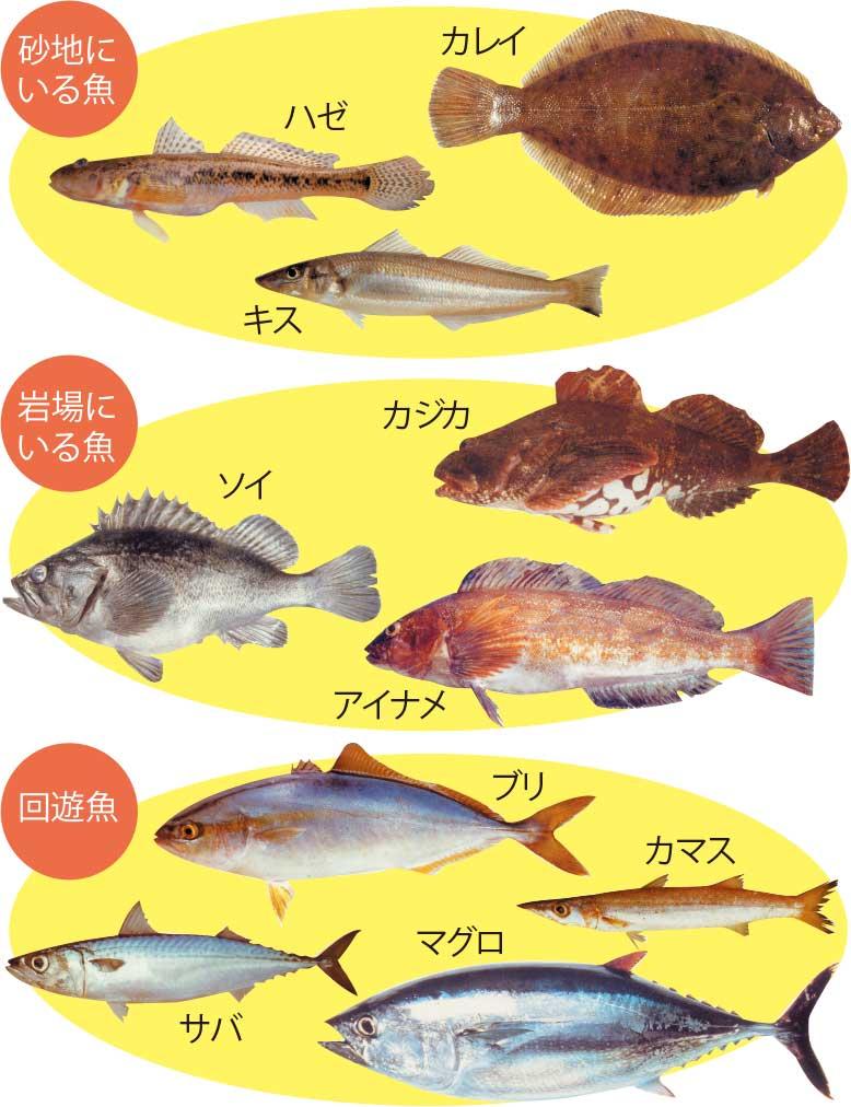 道南の砂地・岩場にいる魚と回遊魚