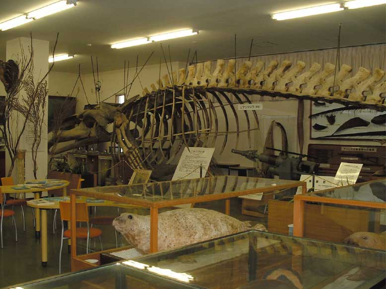 北海道大学水産学部水産資料館にあるニタリクジラの完全骨格標本