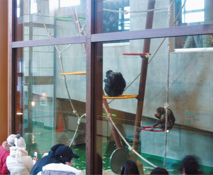 旭山動物園のチンパンジーの森