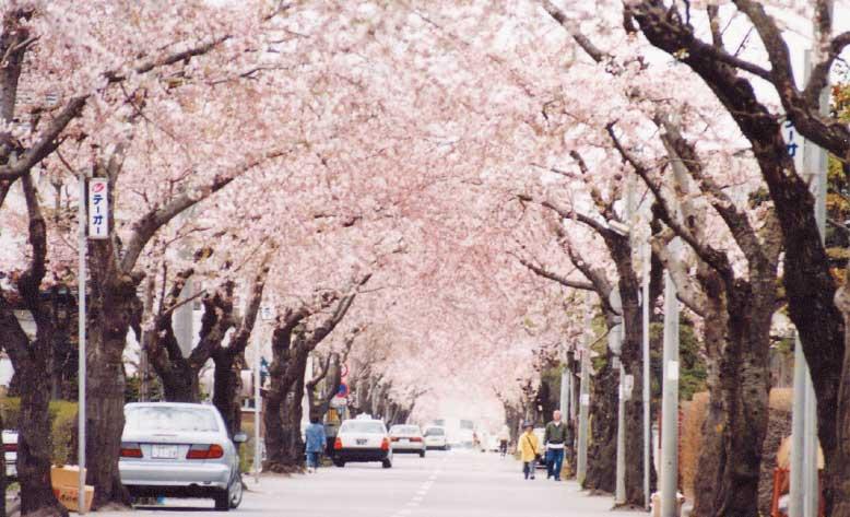 満開の桜ヶ丘通り