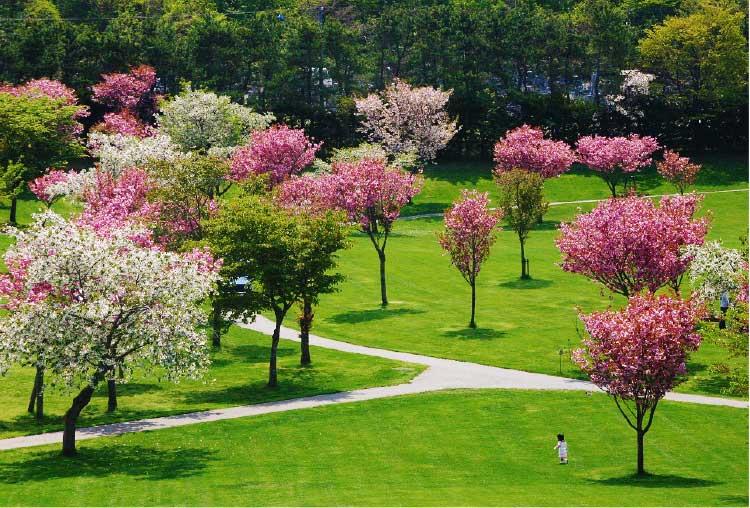 鹿部公園の桜